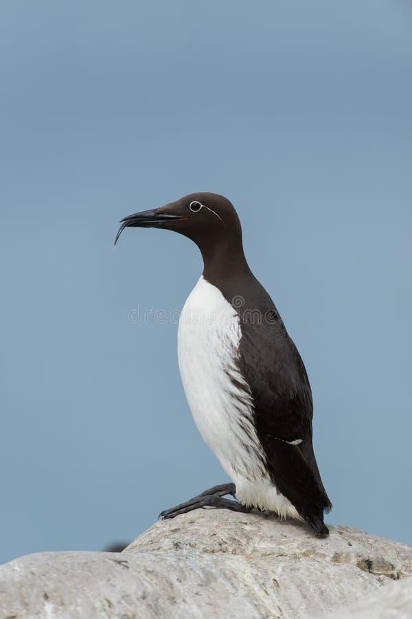 共同的海雀科的鸟 免版税库存照片