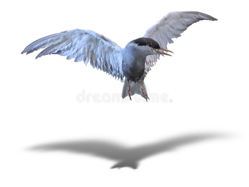 共同的燕鸥海鸟在飞行中在与阴影的白色 免版税库存图片