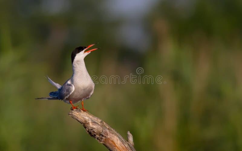 共同的燕鸥胸骨燕属 库存图片
