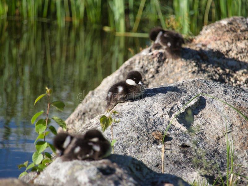 共同的白颊鸭幼鸟  库存图片