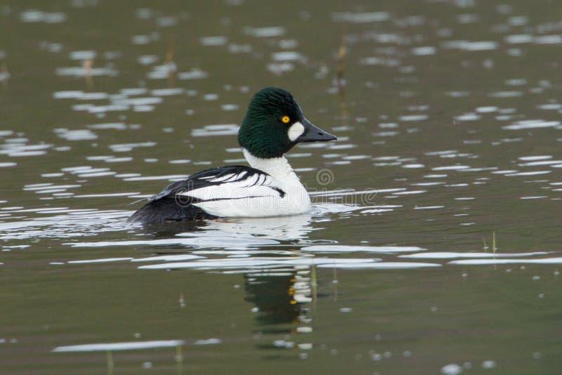 共同的白颊鸭游泳在水中 免版税库存图片