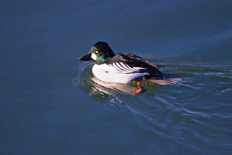 共同的白颊鸭鸭子 库存照片