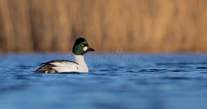 共同的白颊鸭- Bucephala clangula -男性 库存照片
