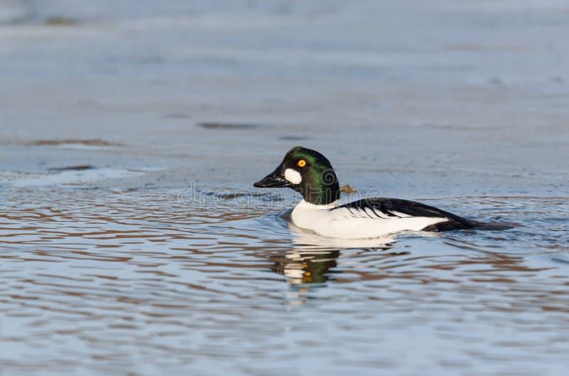 共同的白颊鸭Bucephala clangula成年男性游泳在河,野生生物场面 免版税库存照片