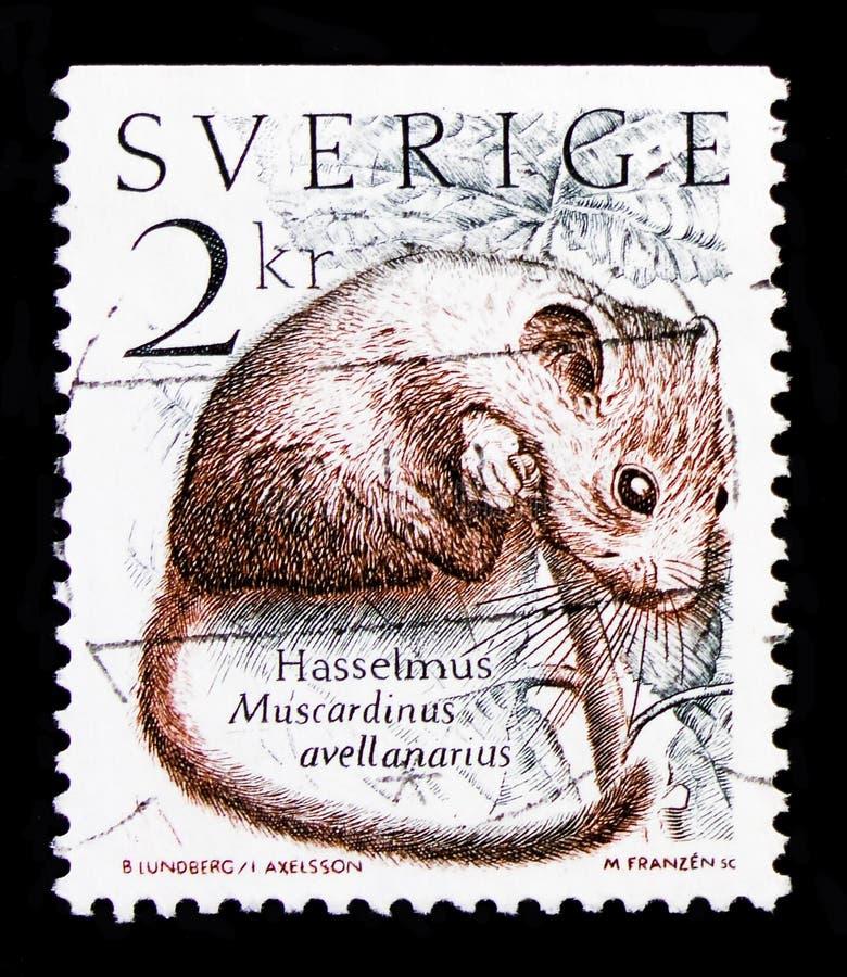 共同的睡鼠Muscardinus avellanarius,自然serie,大约1985年 库存图片