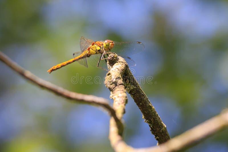 共同的突进者Sympetrum striolatum侧视图 免版税库存图片