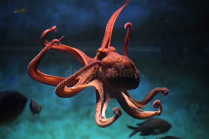 共同的章鱼(寻常的章鱼) 库存照片