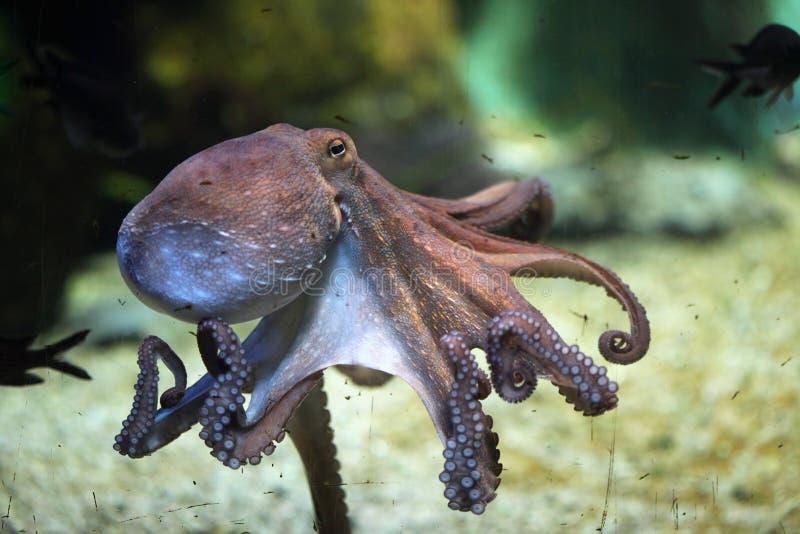 共同的章鱼(寻常的章鱼) 免版税库存照片