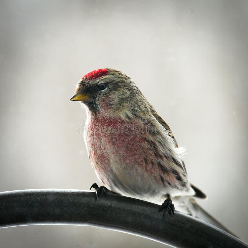 共同的红弱鸟鸟, Acanthis flammea,男性栖息面对左 免版税库存照片