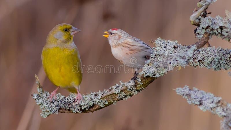 共同的红弱鸟- Acanthis flammea 库存照片