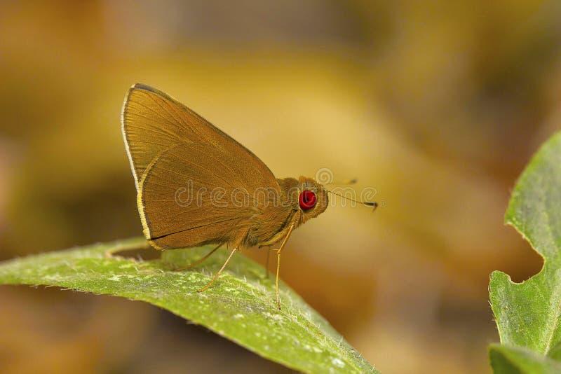 共同的红色眼睛蝴蝶, Matapa唱腔,不凡 Bhavans学院,西部的Andheri,孟买,马哈拉施特拉,印度 库存图片
