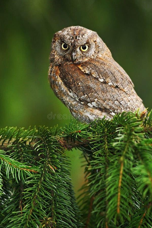 共同的红角鹗, Otus scops,小猫头鹰在自然栖所,坐绿色云杉的树枝,森林在背景中, 库存照片