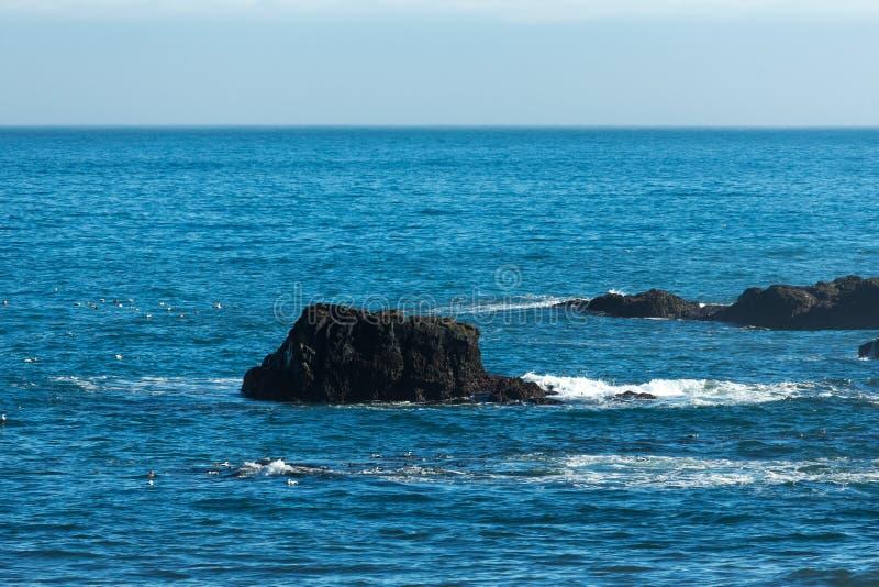 共同的绒鸭绒鸭mollissima -表面上的鸟海 ?? r 免版税图库摄影