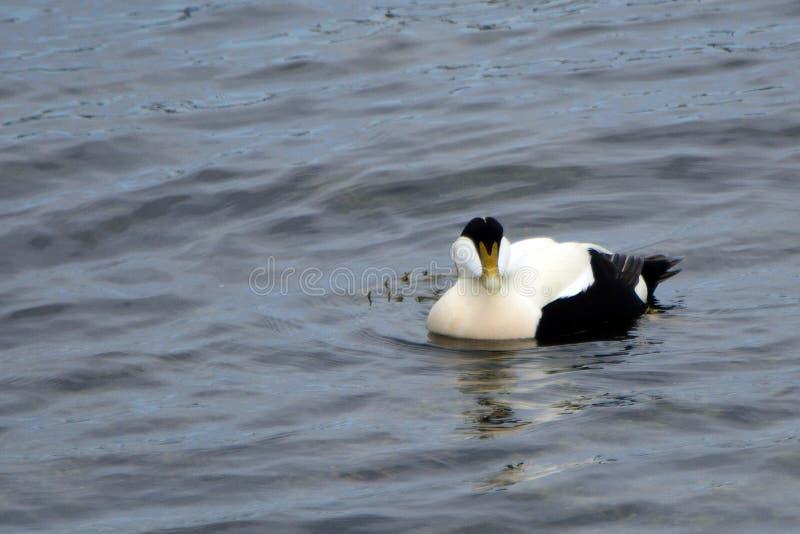 共同的绒鸭,南Queensferry,苏格兰 库存图片
