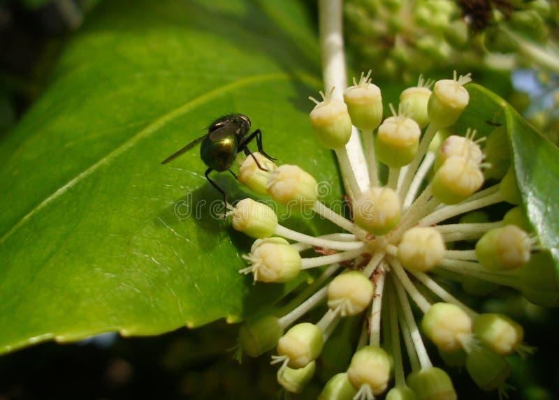 共同的绿色瓶飞行绿蝇sericata尾端视图与花的 库存图片