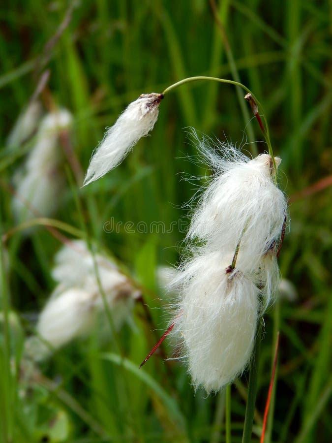 共同的羊胡子草种子头 免版税库存照片