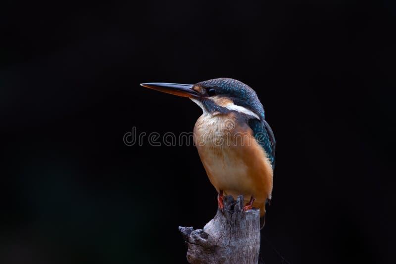 共同的翠鸟& x28; 翠鸟属atthis& x29; 免版税库存图片