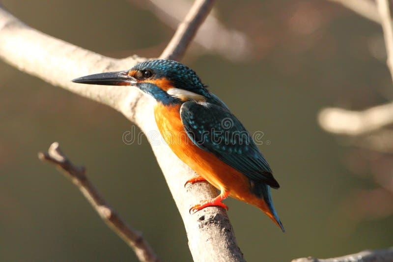 共同的翠鸟(翠鸟属atthis) 免版税库存图片