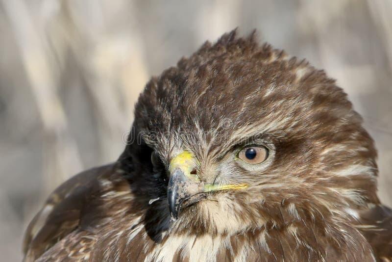 共同的肉食的头和眼睛大型非常接近的和详细的照片  免版税库存图片
