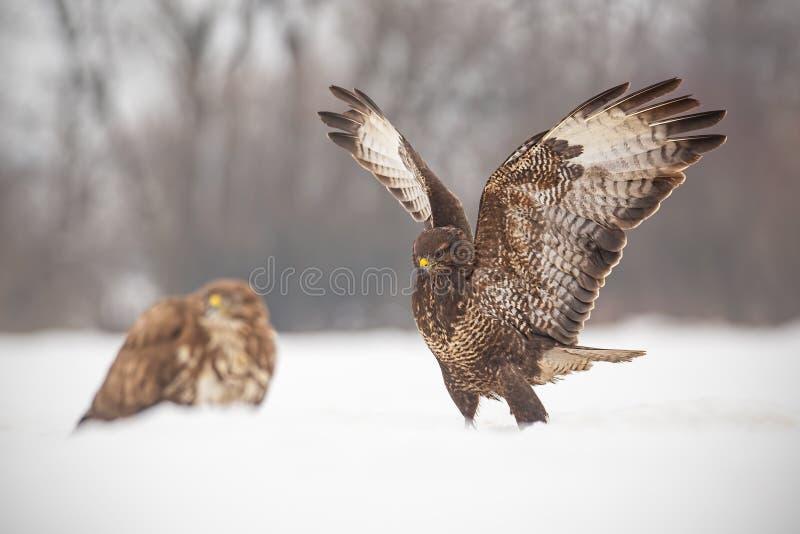 共同的肉食,鵟鸟鵟鸟,战斗在冬天 免版税库存图片