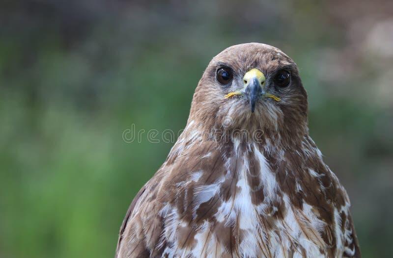 共同的肉食,鵟鸟鵟鸟 免版税库存图片