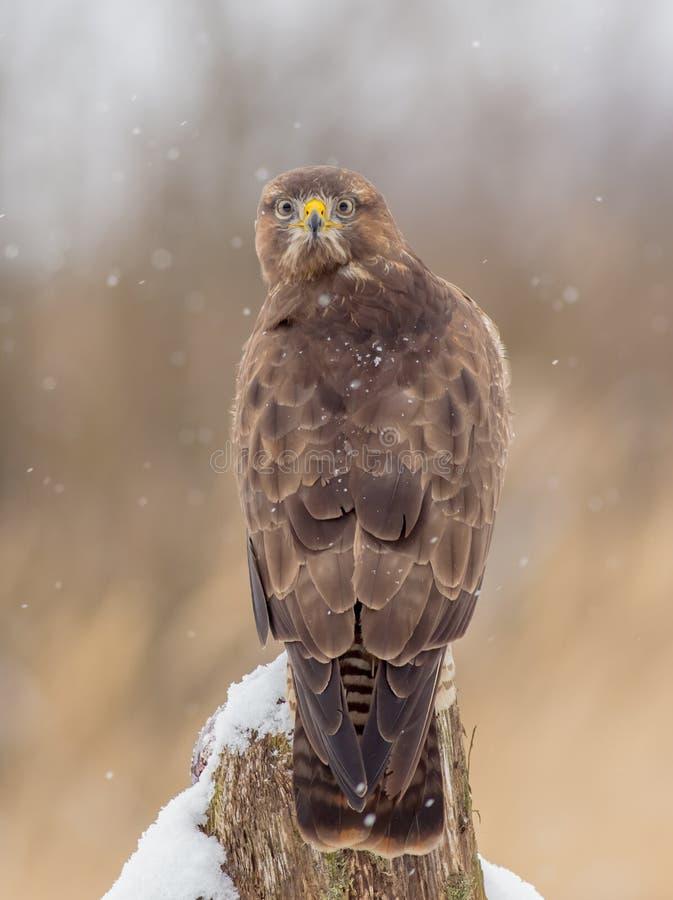 共同的肉食-鵟鸟鵟鸟 免版税库存照片