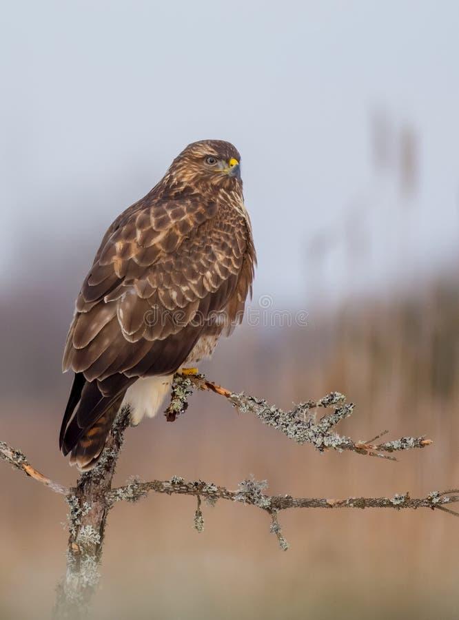 共同的肉食- Mäusebussard -鵟鸟鵟鸟 免版税图库摄影