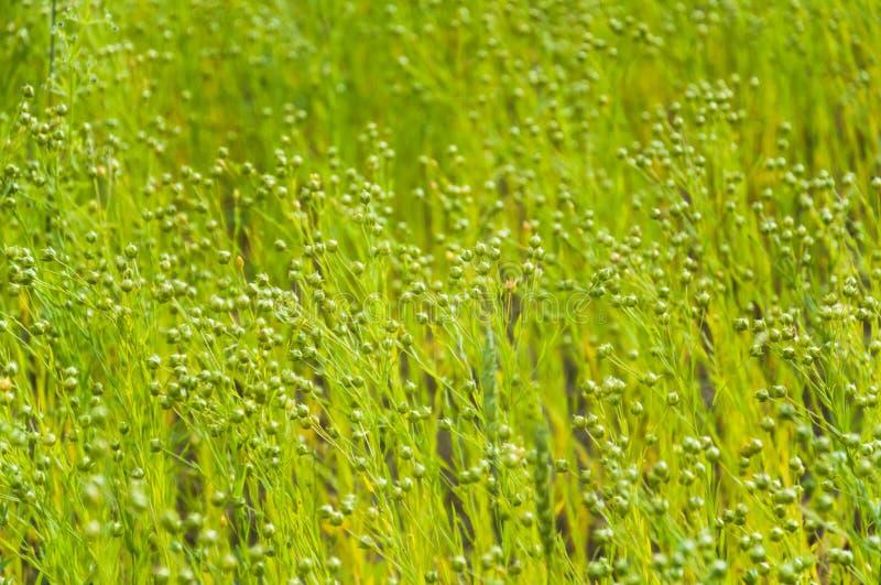 共同的胡麻或油麻Linum usitatissimum绿色胶囊  图库摄影