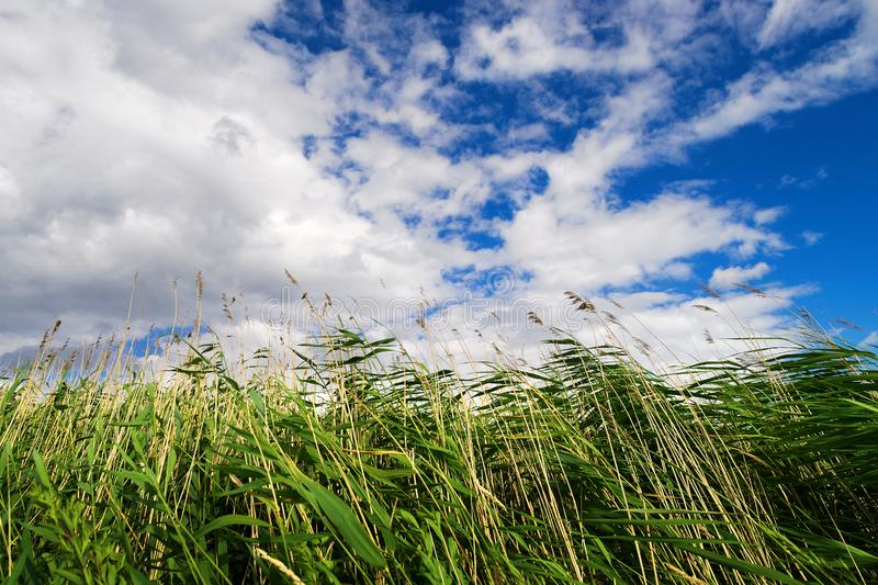 共同的芦苇芦苇属极光在天空背景 图库摄影