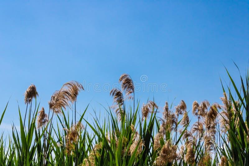 共同的芦苇flowersPhragmites极光与天空蔚蓝背景影像 免版税库存图片