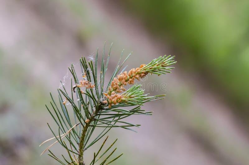 共同的苏格兰松树叶子和花粉锥体  免版税库存照片