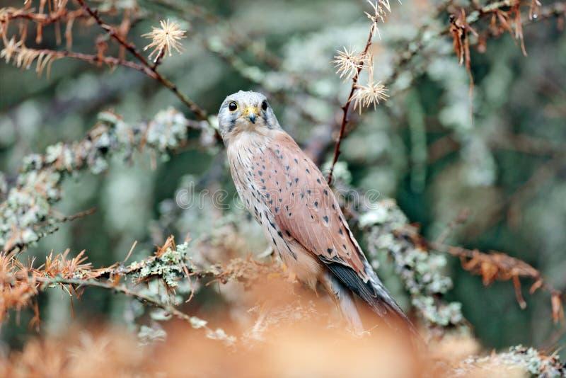 共同的茶隼,游隼科tinnunculus,坐在橙色秋天森林,德国里的小的鸷 与秋天黎明叶子的落叶松属树 库存图片