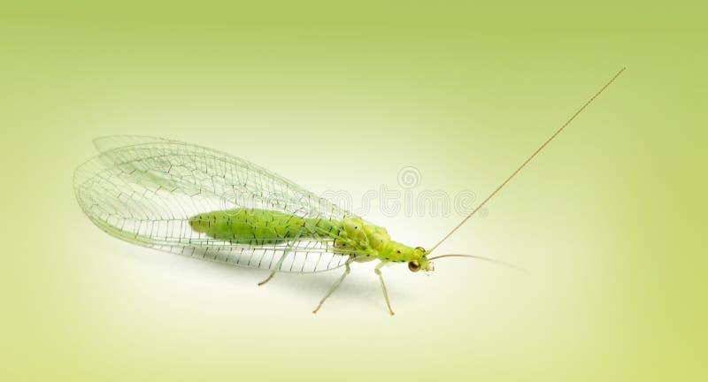 共同的草蛉, Chrysoperla carnea,在一个绿色梯度 免版税库存图片