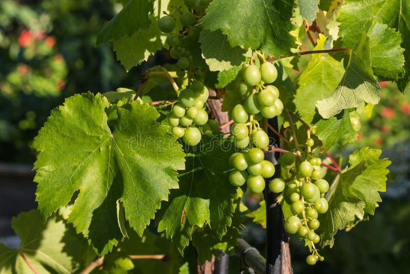 共同的葡萄树果子和叶子 免版税库存图片
