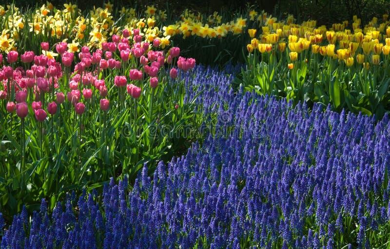 共同的葡萄风信花,黄水仙 库存照片