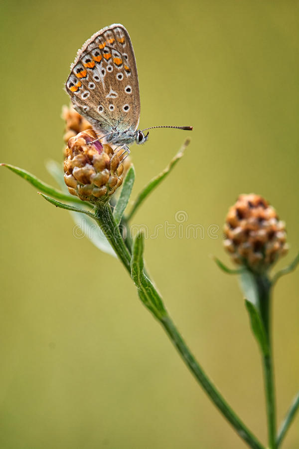 共同的蓝色女性(Polyommatus艾卡罗计) 免版税库存照片