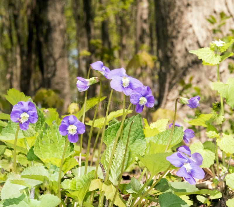 共同的蓝色紫罗兰 免版税库存图片