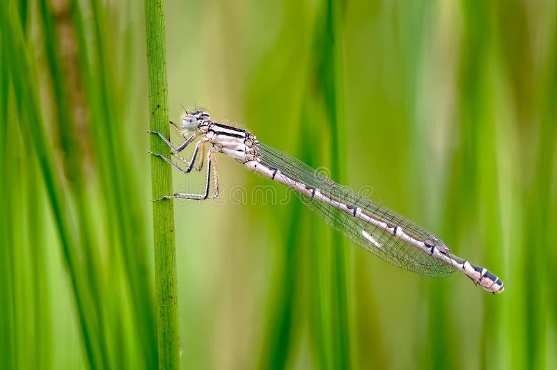 共同的蓝色蜻蜓,Enallagma cyathigerum在一个潮湿的满地露水的草甸 库存图片