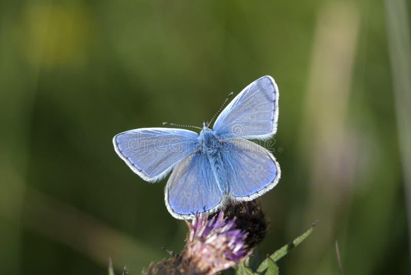 共同的蓝色, Polyommatus艾卡罗计 库存照片