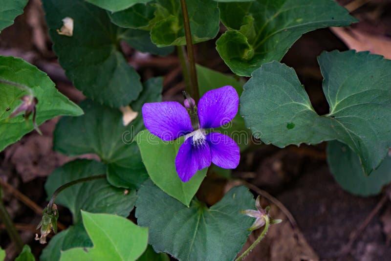共同的蓝色紫罗兰-中提琴sororia 库存图片