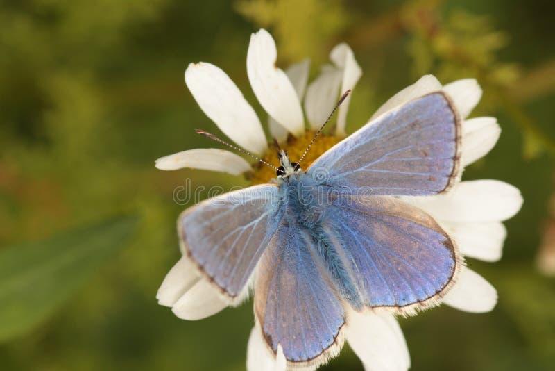 共同的蓝色蝴蝶。 图库摄影