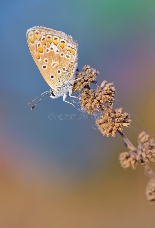 共同的蓝色& x28; Polyomathus icarus& x29;蝴蝶 库存照片