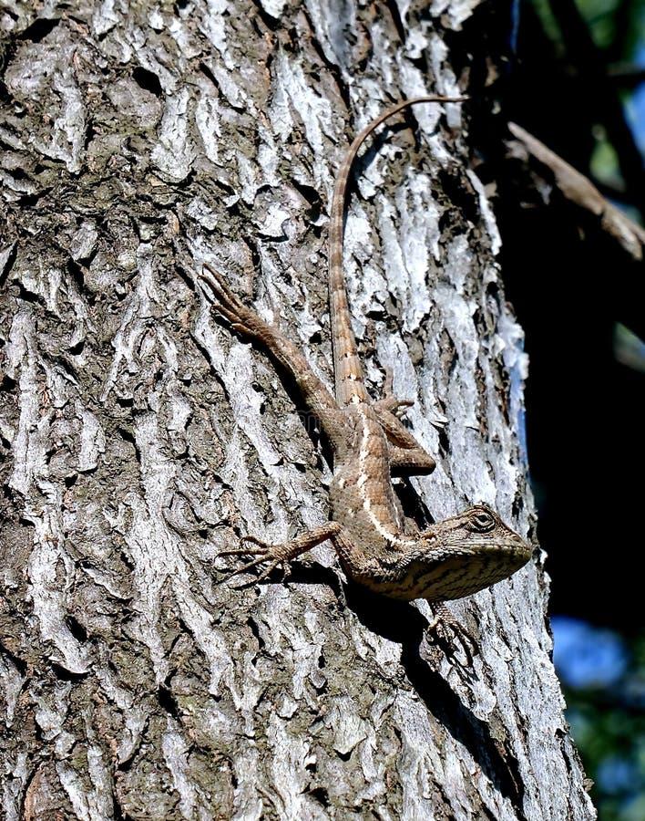 共同的蜥蜴蜥蜴 免版税库存图片