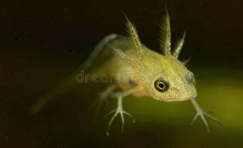 共同的蝾螈蝌蚪 免版税库存图片