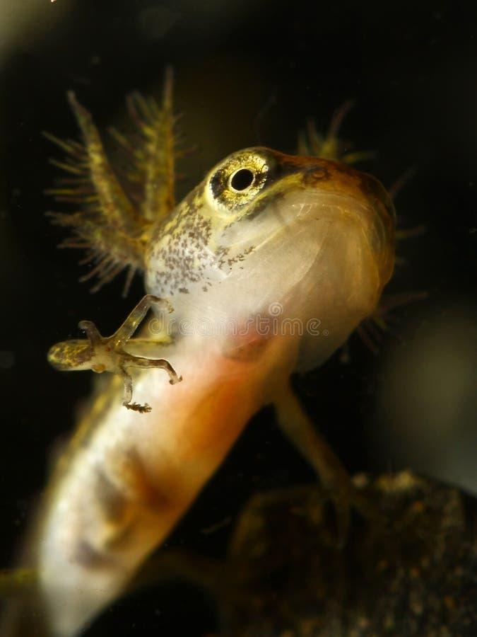 共同的蝾螈Triturus寻常的蝌蚪 免版税库存图片