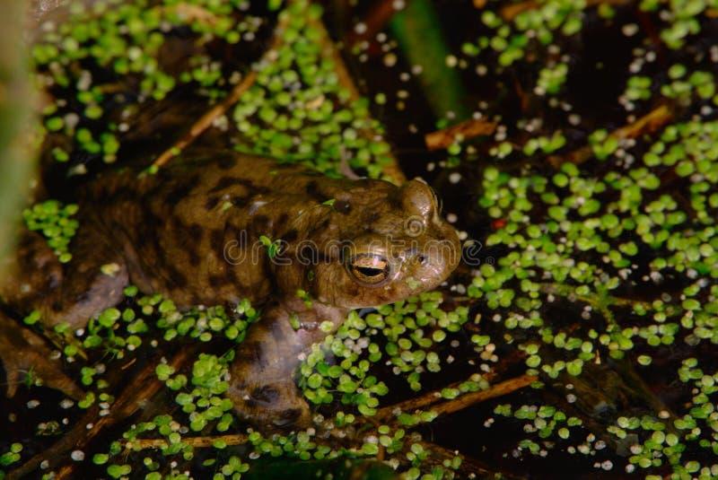共同的蟾蜍在池塘 库存照片