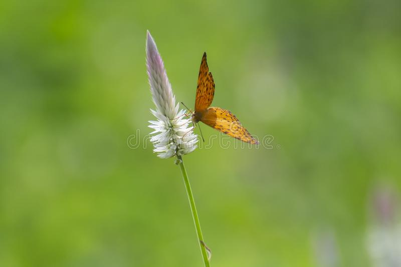 共同的豹子种类蝴蝶在Cockscomb野花的 免版税库存图片