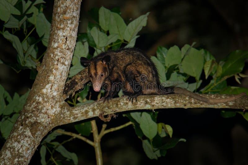 共同的负鼠- Didelphis marsupialis也叫南部或黑有耳的负鼠或古大提琴或者manicou,有袋动物的种类 图库摄影