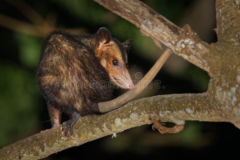 共同的负鼠- Didelphis marsupialis也叫南部或黑有耳的负鼠或古大提琴或者manicou,有袋动物的种类 库存照片