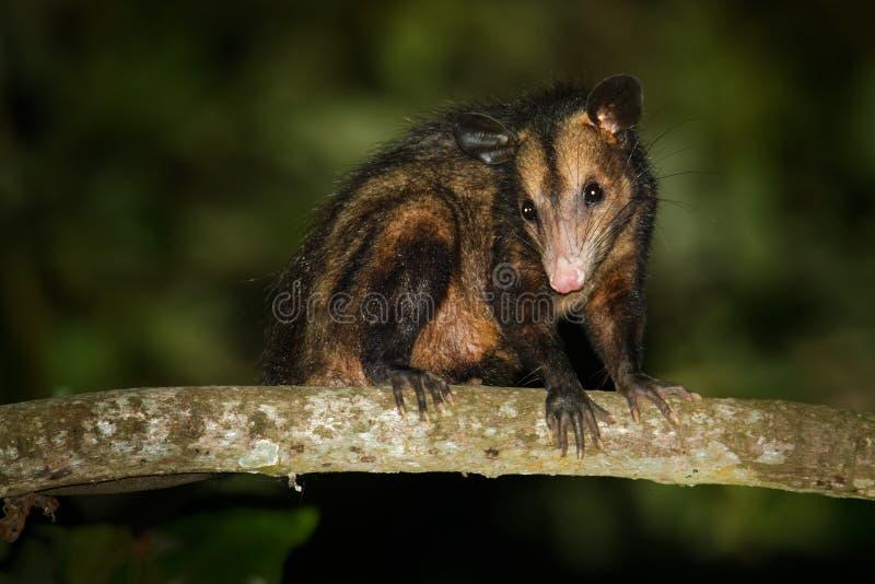 共同的负鼠- Didelphis marsupialis也叫南部或黑有耳的负鼠或古大提琴或者manicou,有袋动物的种类 库存图片